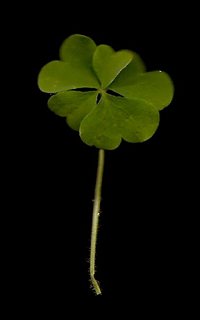 5 Leaf Clover - not lucky.